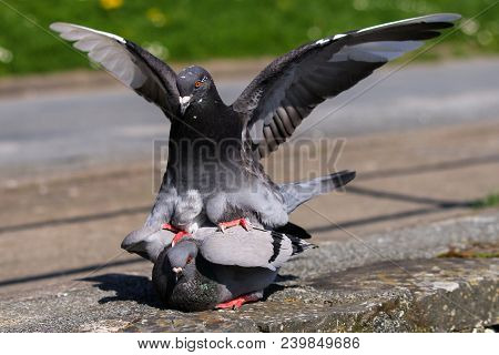 A Male Pigeon Mounting A Female To Mate With Her With Wings Outstretched