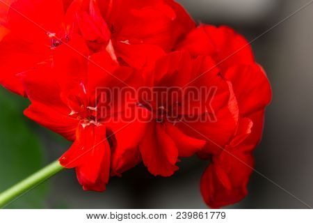 Red Geranium Close-up. A Blossoming Flower. Natural Background. Botany