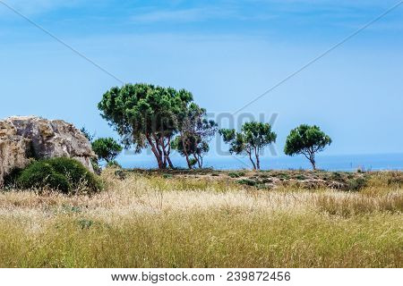 Landscape With Olive Trees In Archaeological Park At Kato Paphos, Cyprus