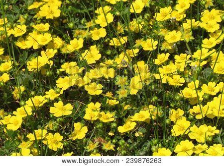 Potentilla Tabernaemontani, Yellow Spring Flower, Small Blossom, A Cover Plant
