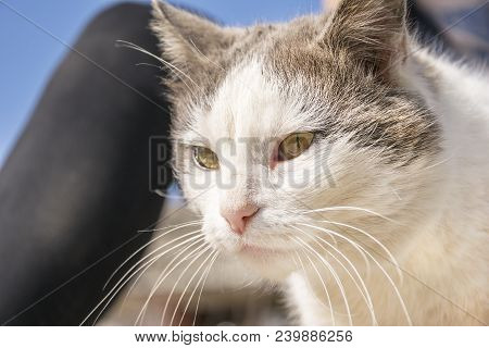 Portrait Of Beautiful Fluffy Pet . White With Grey Color Tomcat With Long Whisker Looking Away With