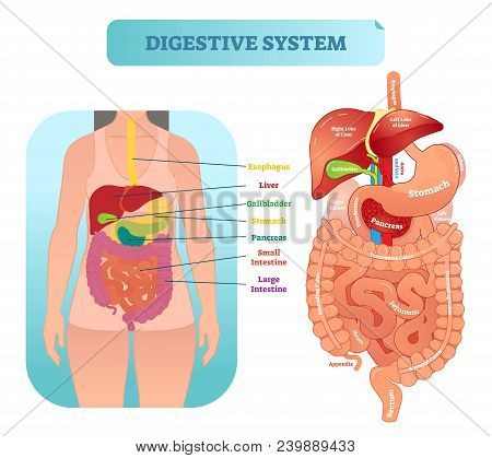 Human Digestive Vector Photo Free Trial Bigstock