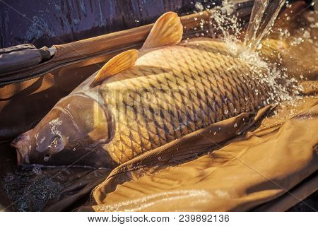 Carp Fishing, Angling, Fish Catching, Capture. Big Fish Catch In Water On Sunny Day. Alive Carp In W
