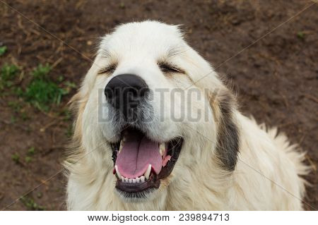 Great Pyrenees Laughing