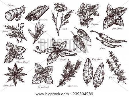 Spice Vector Isolated Sketch Icons For Food Seasoning Or Herbal Spices And Herbs. Flavorings Of Dill