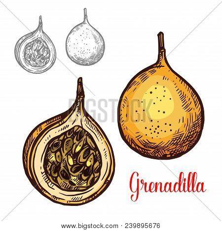 Grenadilla Fruit Sketch Isolated Icon. Vector Botanical Sketch Design Of Exotic Tropical Granadilla
