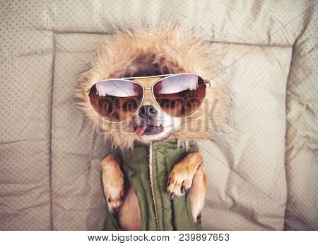 cute chihuahua with a hoodie and sunglasses on toned with a retro vintage instagram filter