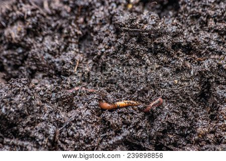 Small Red Worm On Rich Dark Earth