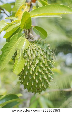 Soursop Tree Or Prickly Custard Apple. (annona Muricata L.) Plant For Treatment Of Carcinoma, Medici