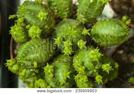 Close Up Of Beautiful Evergreen Prickly Cactuses.