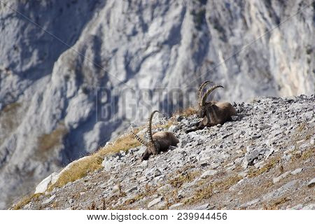 Two Old Sitting Capricorns In The Rocks Of Mountains