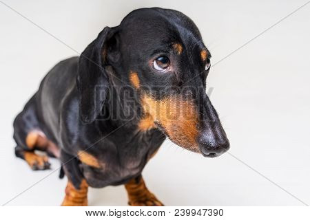 Dog Of The Breed Of Dachshund, Black And Tan, Looks Guilty And Scary To His Master, On A Gray Backgr