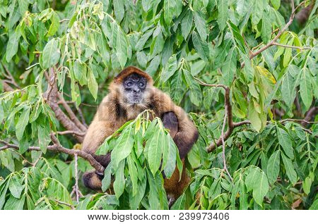 Geoffroy's spider monkey (Ateles geoffroyi ornatus), also known as the black-handed spider monkey, the largest New World monkeys sitting on a tree on an island in Nicaragua Lake poster