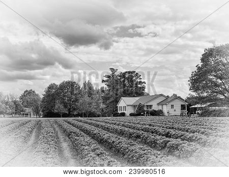 A Black And White Country Home Landscape On A Farm With Rows Of Crops Growing Under A Cloudy Sky.