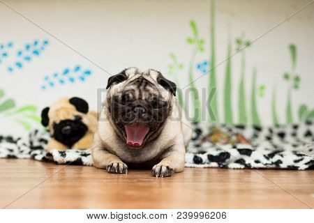 Puppy Of The Pug Breed Lies On Its Coverlet Next To The Toy