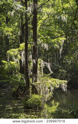 Spanish Moss Hangs From A Tree In A Lake In A Park In Wilmington North Carolina.