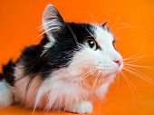 Mongrel black and white cat looks up and aside on orange background. poster
