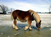 during spring, a workhorse is drinking water from melted snow and ice. poster