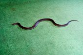 King Brown snake also known as Mulga snake (Pseudechis australis) indoor on green carpet floor. This is one of the longest venomous snakes in the world. poster