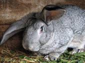 Nice portrait of big grey rabbit on wooden background poster