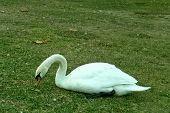 swan bird lay down in the green grass poster