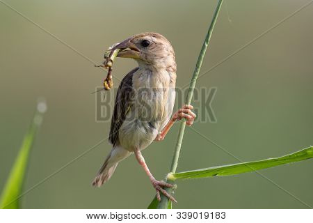 Baya Weaver With An Insect Catch On A Perch