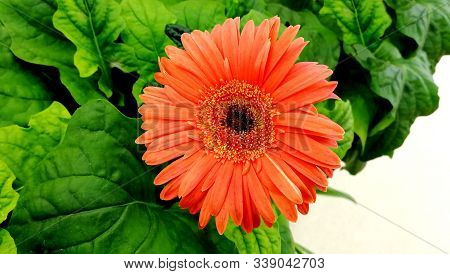 Colorful Coral Gerbera Daisy Flower On Green Leaves Isolated Background. Top View Daisy Flower. Gerb
