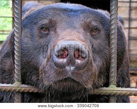 Sad Bear In Animal Cage. Carpathian Bear Captivity In Animal Zoo Behind Cage Bars. Portrait Of Brown