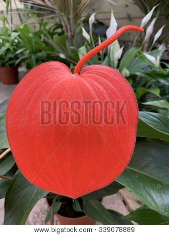 Red Flower Anthurium Scherzer In The Greenhouse (anthurium Scherzerianum)