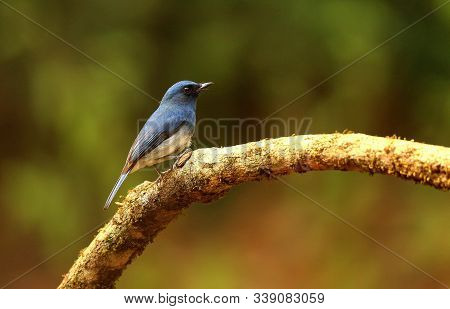 White Bellied Blue Flycatcher, Male, Cyornis Pallipes At Ganeshgudi In Karnataka, India