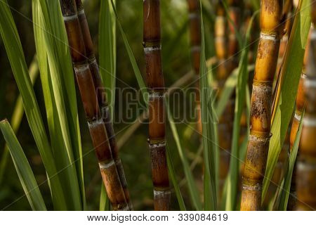 Sugarcane Planted To Produce Sugar And Food. Food Industry. Sugar Cane Fields, Culture Tropical And