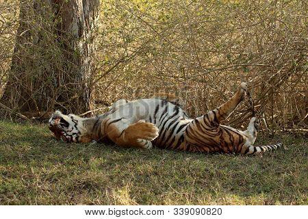 Male Tiger, Panthera Tigris At Bandipur National Park In Karnataka, India