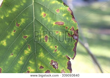 Teak Leaves With Dry And Yellow Patches Caused By Lack Of Nutrients In Plants