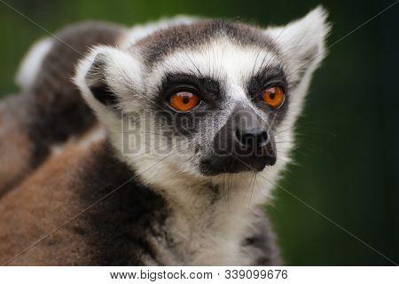 Portrait Popular Monkey Lemur Catta. Detail Lemur Face On The Green Background.
