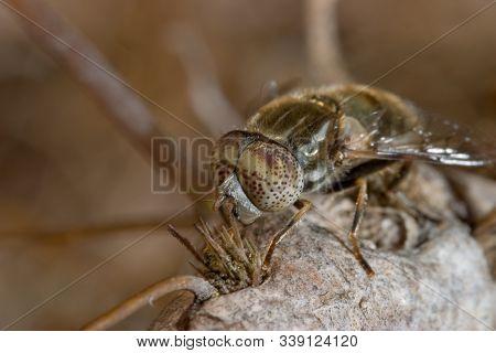 A Horsefly ( Haematopota Pluvialis ) At The Point Of Undertaking The Flight .