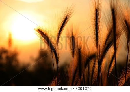 Wheat At Sunset/Sunrise