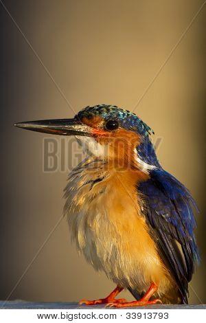 Madagassische Eisvogel (Alcedo Vintsioides)