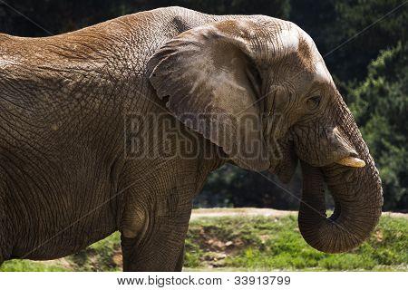 alte Elefant
