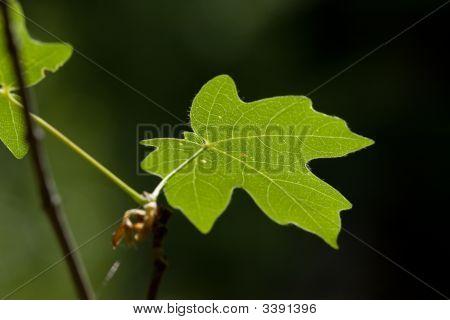 Leaf On End Of Branch