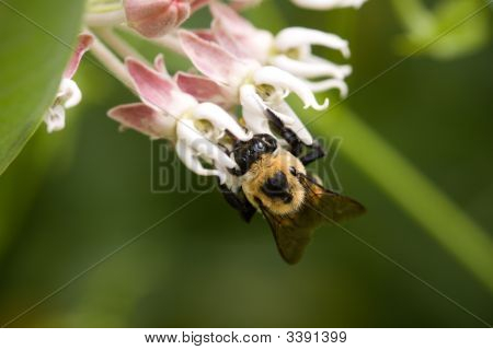 Bumble Bee On Small Flower