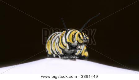 Monarch Caterpillar Reaching Out