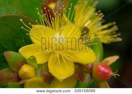 Macro Shot Of A Shrubby Saint Johns Wort (hypericum Adrosaemum) Flower In Bloom.