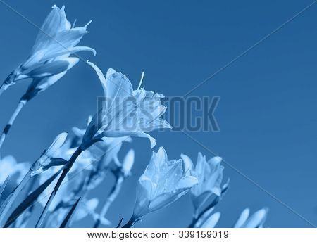 Macro Photo Of Beautiful Lily Hemerocallis Blossoms In Trendy Blue Color. Color Of The Year 2020 Con