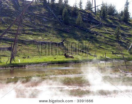 Elk By Lake