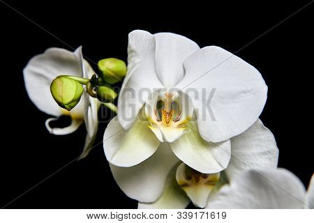 White Orchid Phalaenopsis Isolated On Black Background. White Orchid Branch Blossom.