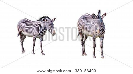 Set Of Close Up Photo Of Chapmans Zebras Isolated On The White Background, Equus Quagga Chapmani. It