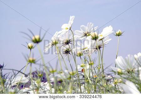 White Cosmos Flowers In The Park In Thailand.