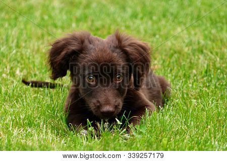 Charming Puppy With Chocolate-brown Coloring. Playful Domestic Animal On The Grass.