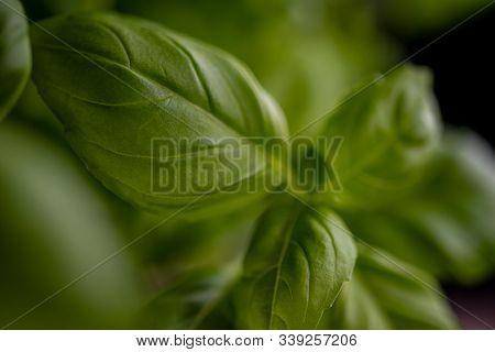 Fresh Green Basil Close-up. Natural Health Food And Ingredient.