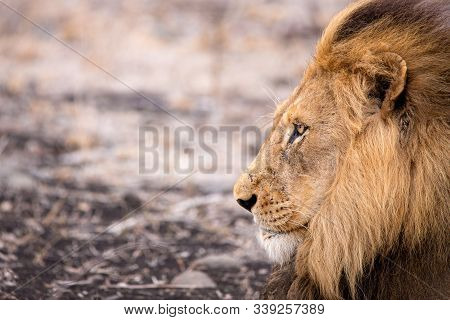 The Lion Is The King Of Beasts. Portrait Of A Dangerous Predator In The Wild.